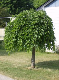 Ornamental weeping mulberry tree related keywords for Small ornamental weeping trees